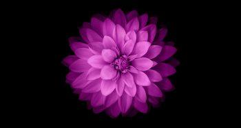 Lotusul Sacru - Nelumbo nucifera.Întrucât floarea de lotus semnifică iluminare şi puritate, cei care stau (se odihnesc) pe ea trebuie să fie măreţi.